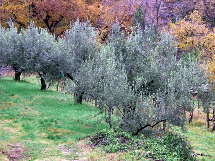 Grove of olives in Caresana, Italy