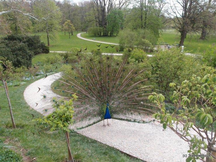 Peacock at Schloss Eggenberg in Graz, Austria