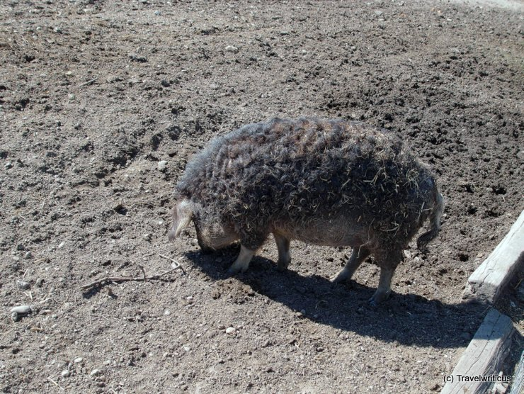 A pig breed named Mangalitza in Burgenland, Austria