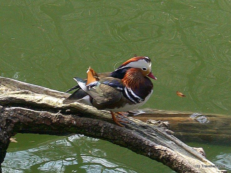 Mandarin Duck at Ambras Castle, Austria