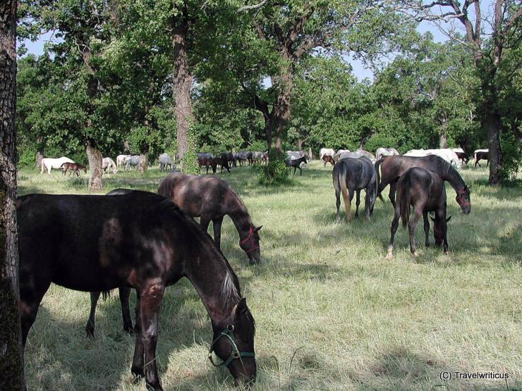 Dark Lipizzan horses at Lipica stud farm in Slovenia
