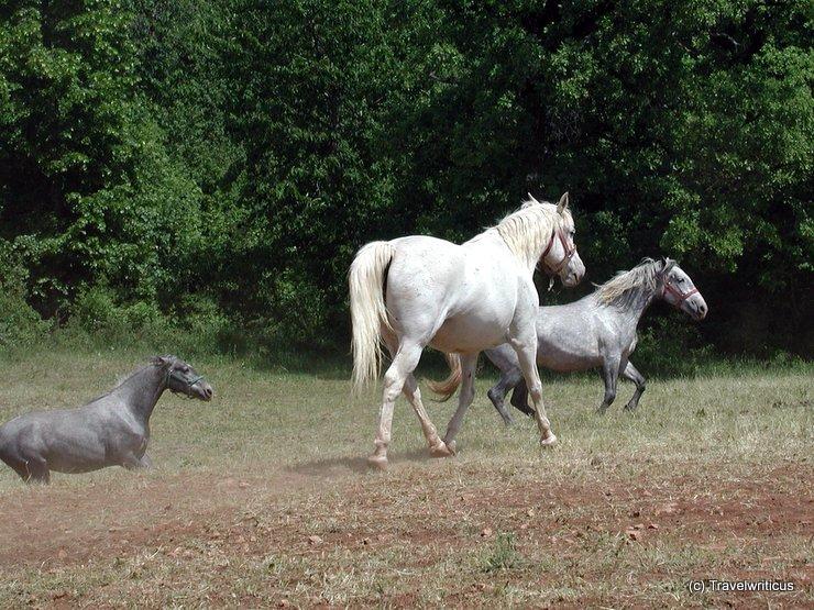 Lipizzan horses in Lipica, Slovenia