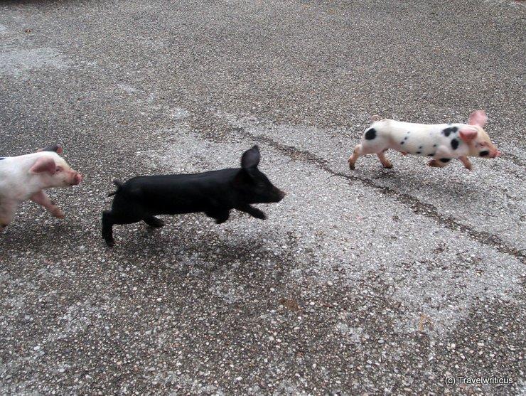 Free running piglets in Schlierbach, Austria