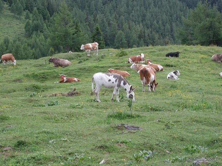 Cattle at Styrian alpine pasture