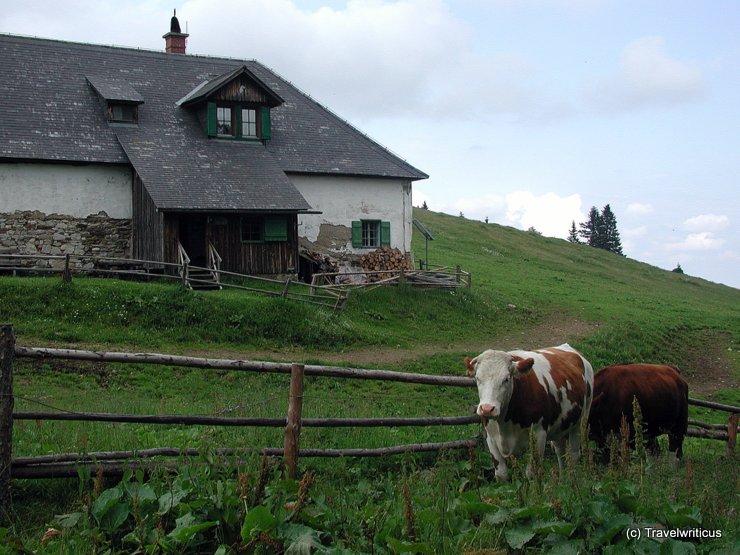 Cattle in Styria, Austria