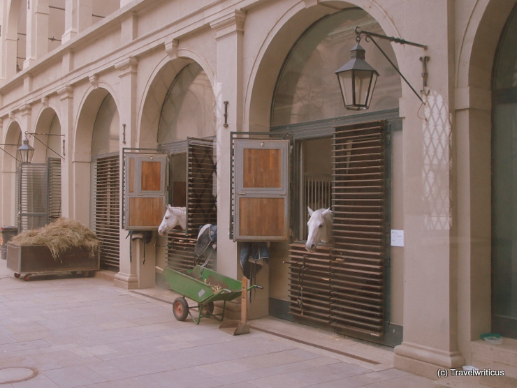 Lippizan horses in their boxes